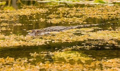 An alligator moves silently through the water looking for prey
