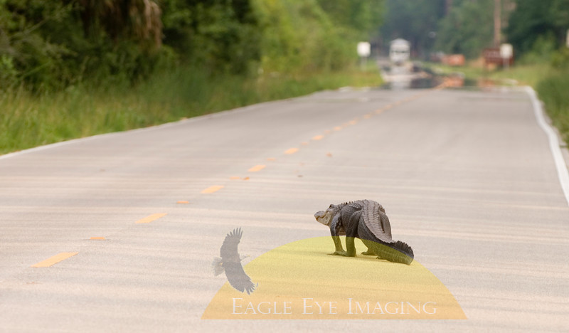 A large alligator makes its way down a Florida road.