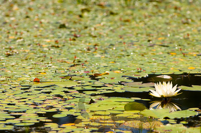 Lilly pads cover the surface of the water in a Florida swamp.