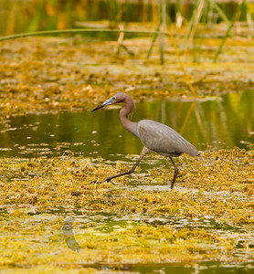 A little blue heron looks for a meal in a Florida swamp