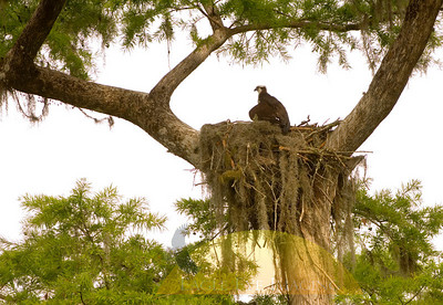 An osprey sits in a nest high above a Florida swamp.