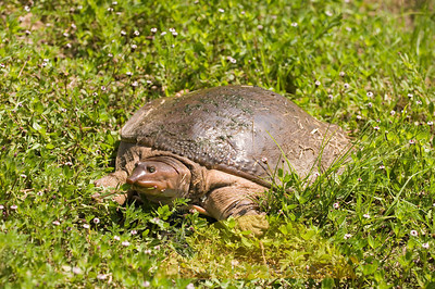 A soft shell turtle basks in the sun on the bank of a Florida waterway on a warm spring afternoon