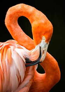 Fancy Feathers Flamingo Photography