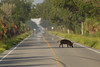 Wild Hog crossing the road by Black point drive, Merritt island national Wildlife Refuge.