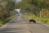 Wild Hog crossing the road by Black point drive, Merritt island national Wildlife Refuge.