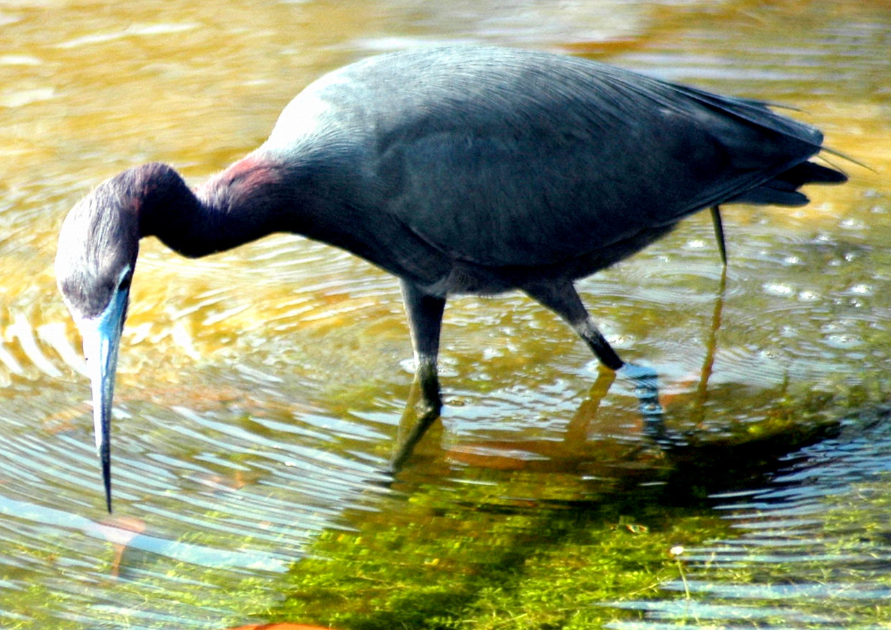 Heron our backyard April 2004