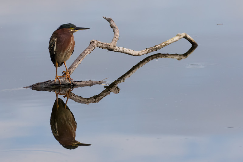 Green Heron Reflections