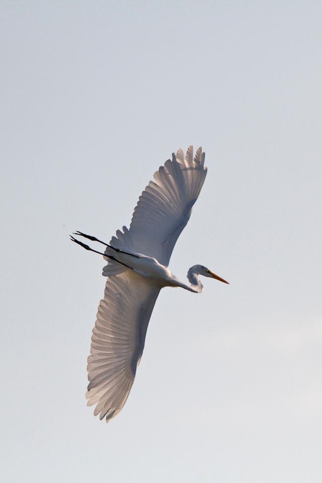 great white egret, lovers key