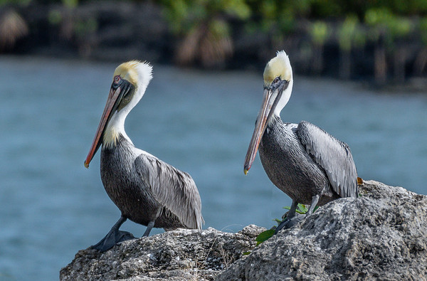 Pair of Brown Pelican