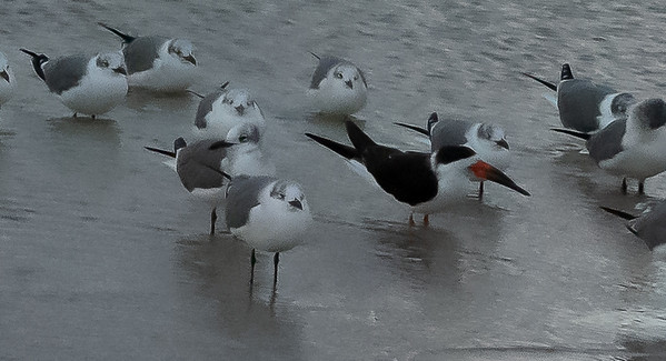Gull Billed Terns and Black Skimmer
