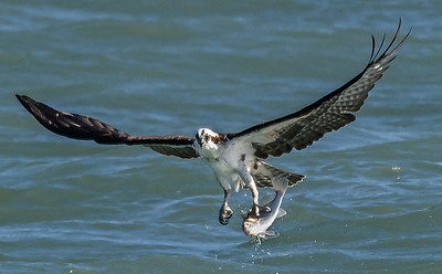 Osprey with fish catch