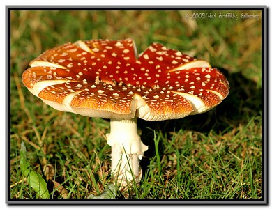 Wild Mushroom - Tabley House, Knutsford