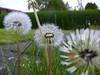 Dandelion.<br /> 6th May 2011.