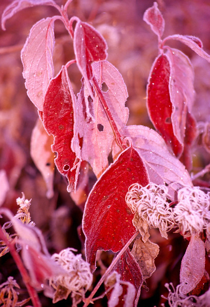 Half the frozen leaves have turned backward, giving us red color variations.  The sun is melting the frost but ice still covers the tips of the leaves.