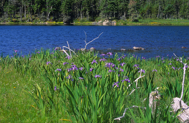 Wild Iris by a small pond deep in the woods of a Canadian wilderness.