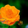 Buttercup in full bloom