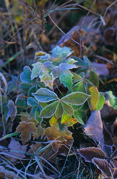 The morning sun warms the frosty tips of the Raspberry leaves.