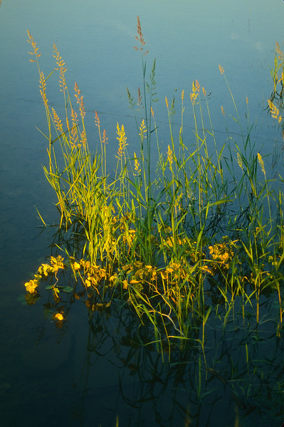 Wildflowers in a small pond