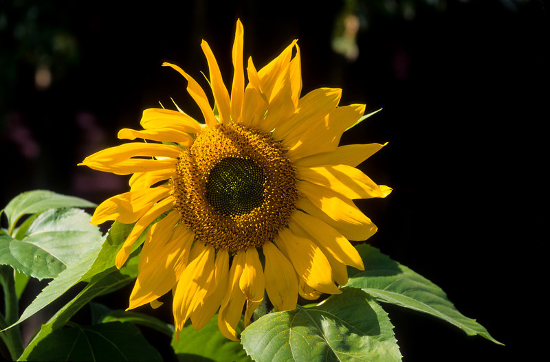 A giant sunflower fills the frame with the bright yellow flower and sun soaked green leaves.