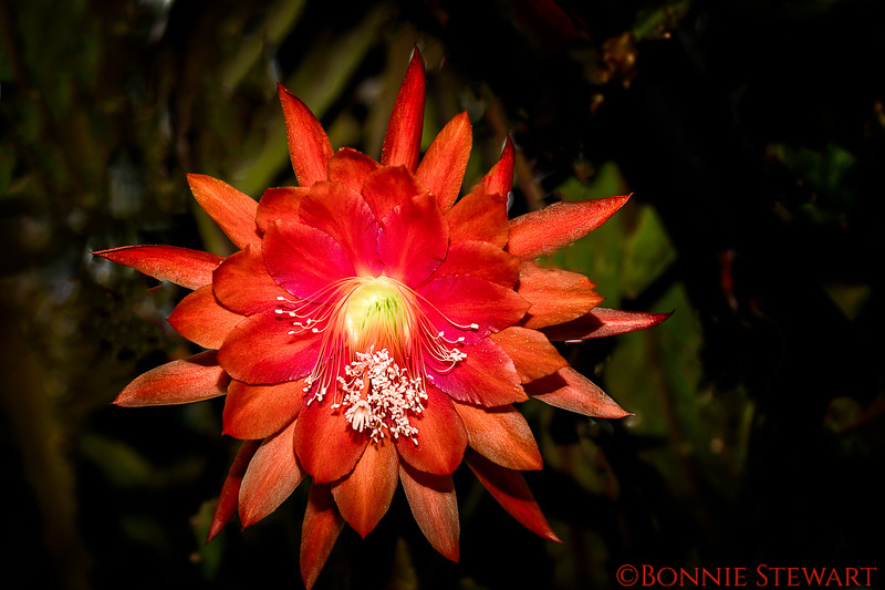 Epiphyllum - a type of cactus species that comes in many colors.  They live with a host plant without harming them.  This flower is in the Epiphyllum Trail at Safari Park.