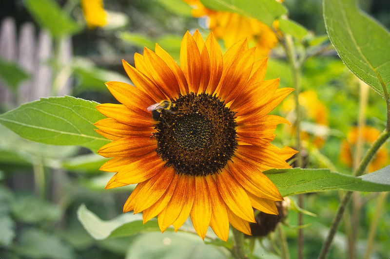 The sunflower and the bee.