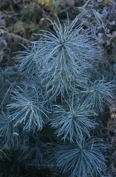 Early morning frost transforms this green pine tree into a thing of photographic beauty.  The green needles turn blue while being covered in ice.