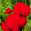 Red Poppies2