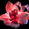 Back-lit Orchid