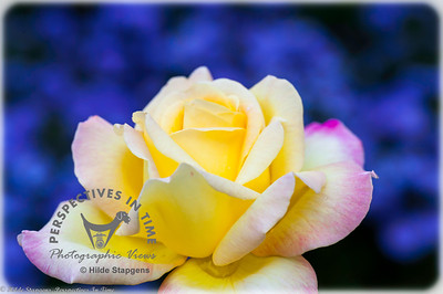 Yellow rose with blue background