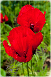 Red Poppies3