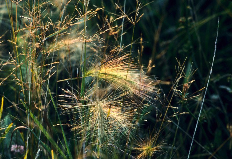 The evening sun lights the tall grass in a lonely field.