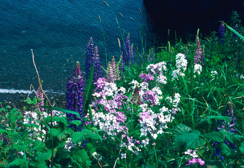 Whites, pinks and purple lost in a sea of green, high above the ocean.