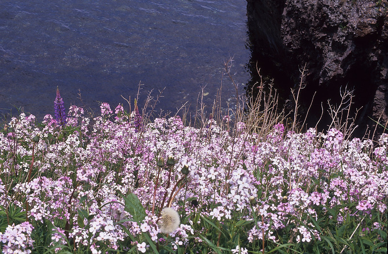 Summer wildflowers and purple Lupines resting on the cliffs above the sea.