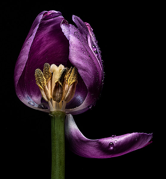 Lavender Tulip - Curtain Call