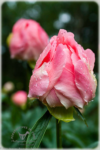 Peonies in the rain