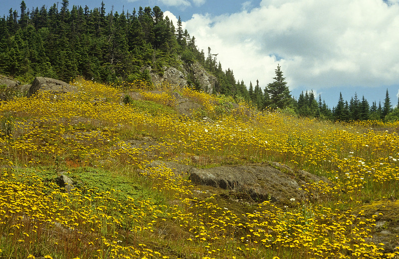 In the summer, the Canadian Maritimes are covered in yellow wildflowers.