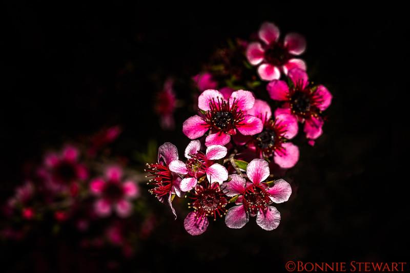 Wax flower from Western Australia