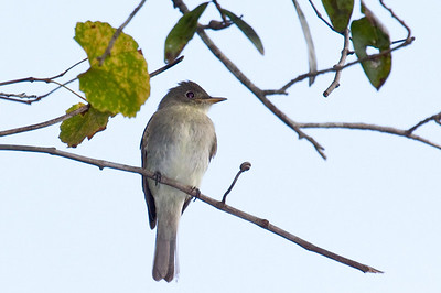 eastern wood peewee