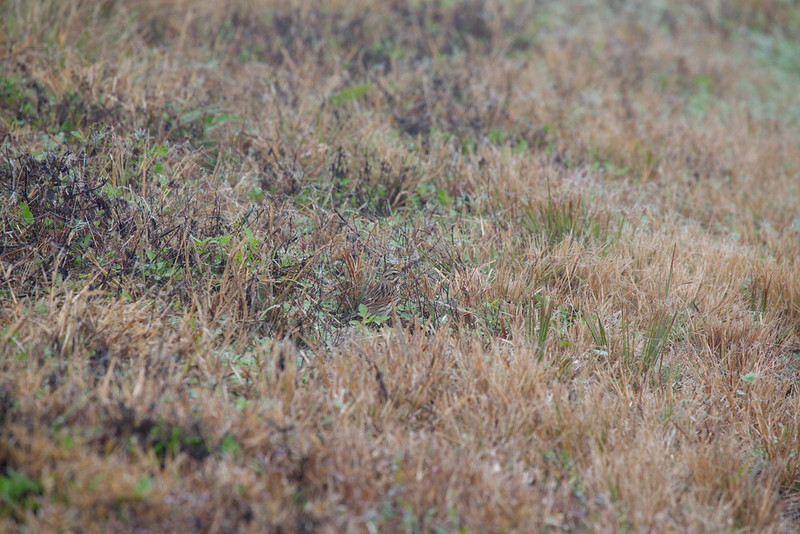 Here is a not-very-difficult exercise for you: find the Savannah sparrow in this photo.