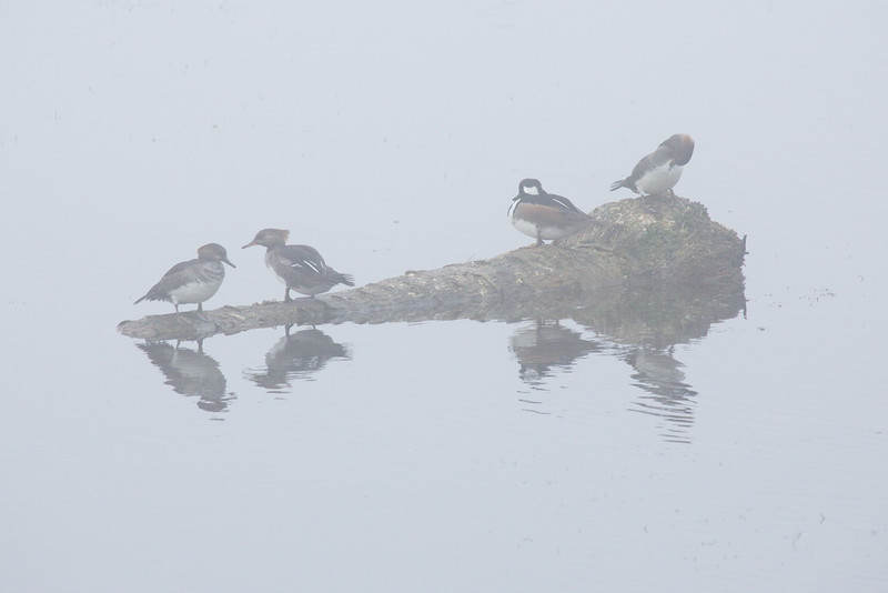 Through the fog, dimly.Here we have a downed palm tree sporting hooded mergansers, one male and three females. What a guy! What's he got that I don't? Oh... yeah: feathers! In my next life...