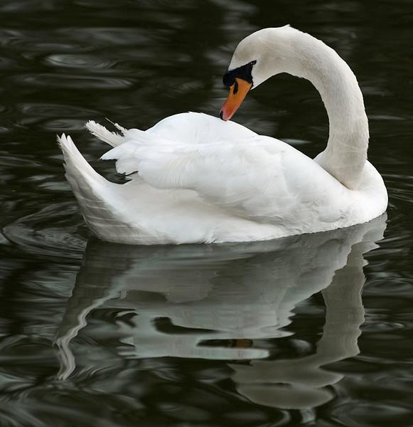 Coy Swan