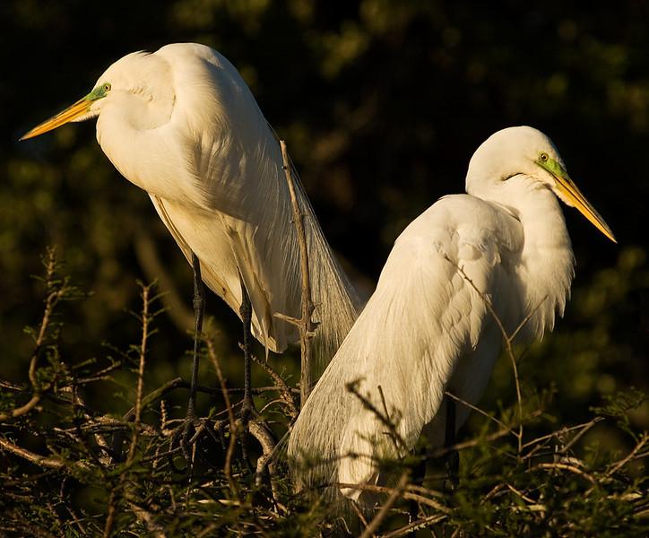 Great White Egrets at Dusk