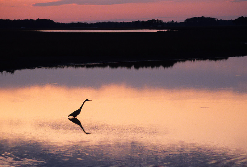 Egret Hunting at Dusk