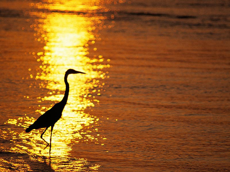 Blue Heron in Reflected Sun