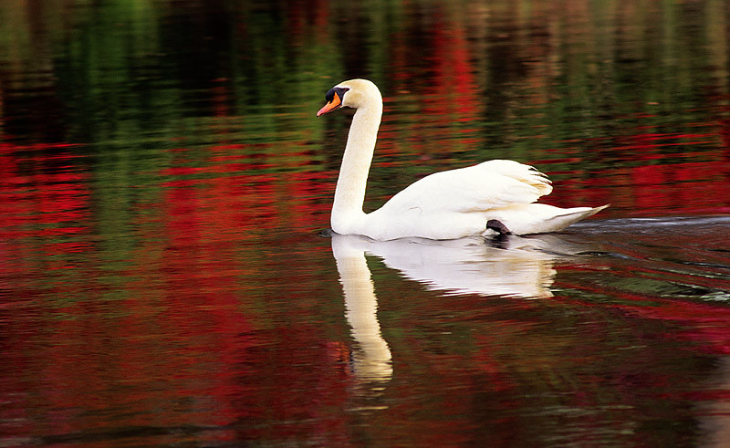 Swimming Swan with Red Reflections