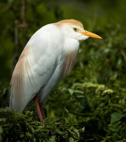 Cattle Egret in Breeding Plumage