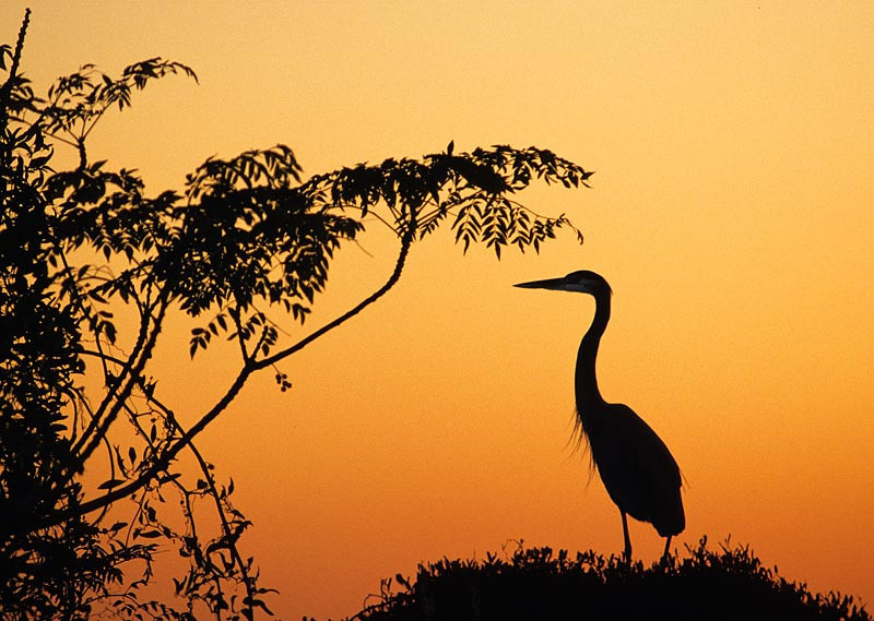 Blue Heron Nesting at Sunset