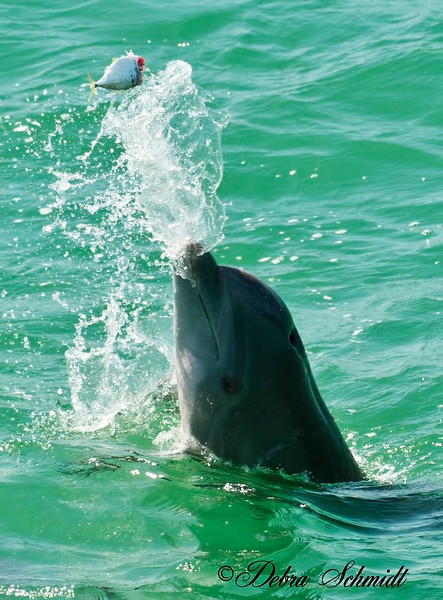 Dolphin playing with his lunch.