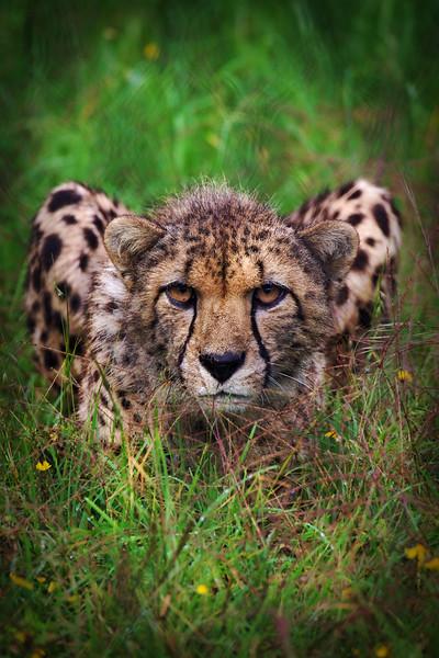 """""""Crouching Cheetah"""""""