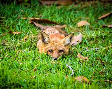 Funny Little Fox